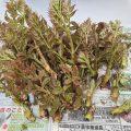 タラの芽収穫祭(*'ω'*)